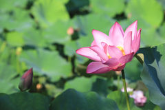Lotus flower and bud Stock Photos
