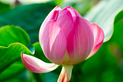 A lotus flower bud stock photo