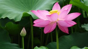 Lotus flower with bud Royalty Free Stock Photography