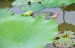 Lotus flower bud Stock Photography