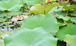 Lotus flower bud Stock Photo
