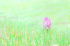 Lotus flower bud Stock Images