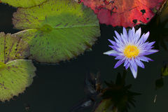 Lotus flower. Flower of Buddhism that respect royalty free stock photo