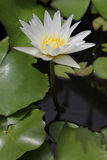 Lotus flower. Flower of Buddhism that respect Royalty Free Stock Photography