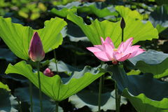 Lotus flower and buds Stock Photography