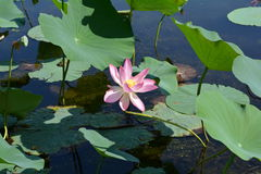Lotus flower central. Big pink lotus flower centered against leaves in the pond Stock Images