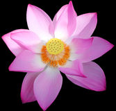 Lotus Flower in China. This is a beautiful Lotus Flower in China Royalty Free Stock Image