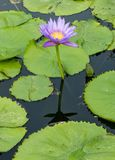 Lotus flower in the city pond Royalty Free Stock Images