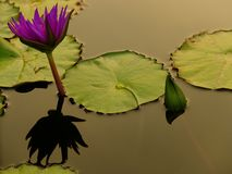 Lotus flower in the city pond Stock Photography