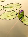 Lotus flower in the city pond Stock Photo