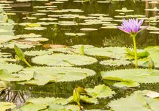 Lotus flower in the city pond Royalty Free Stock Photography