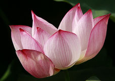 Lotus flower in close up Stock Photo