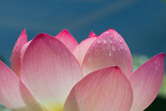 Lotus flower close-up Royalty Free Stock Image