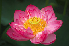 Lotus flower, close up Royalty Free Stock Photography