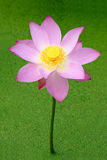 Lotus flower Royalty Free Stock Photography