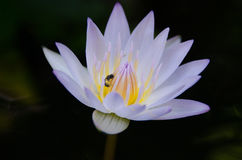 Lotus flower close up. With bee Royalty Free Stock Photography