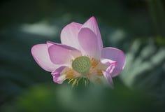 A Lotus Flower Stock Image