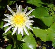 Lotus flower close up Stock Image