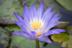 Lotus Flower. Close-up of a purple blue lotus flower Royalty Free Stock Image