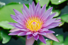Lotus Flower Close up Stock Photo
