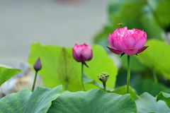 The lotus flower. A close up view of lotus flower Royalty Free Stock Image