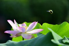 The lotus flower. A close up view of lotus flower Stock Images