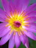 Lotus flower. Closeup beautiful blossom lotus flower Stock Photos