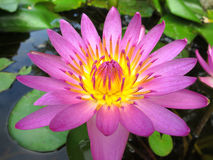 Lotus flower. Closeup beautiful blossom lotus flower Royalty Free Stock Photography