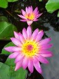 Lotus flower. Closeup beautiful blossom lotus flower Royalty Free Stock Image