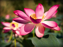 Lotus flower closeup. Nature details: lotus nelumbo flower closeup with purple or rose petals and green background Stock Photo