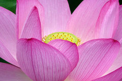 Lotus flower. Closeup of a pink lotus flower Stock Images