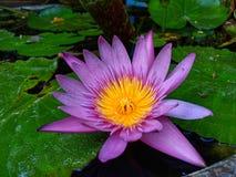 Lotus flower. Closeup pink pinkflower waterlily blooming freshness nature plantpart background royalty free stock photo