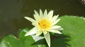 Lotus Flower, color amarillo en una charca y una abeja almacen de video
