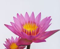 Lotus flower color Royalty Free Stock Photography