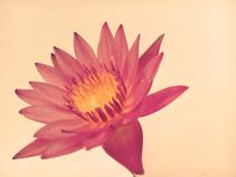 Lotus flower color Stock Photography