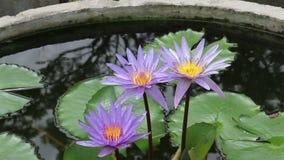 Lotus Flower, color violeta en una charca y una abeja metrajes