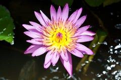 Lotus Flower colorida Imágenes de archivo libres de regalías