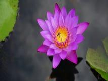 Lotus Flower con gli insetti immagine stock