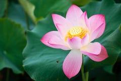 Lotus Flower dal distretto di Guanyin, Taoyuan, Taiwan immagine stock