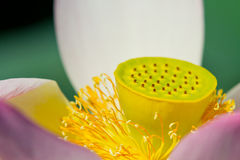 Lotus flower detail Stock Photography