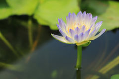 Lotus flower. Detail of lotus flower in the pond Royalty Free Stock Photography