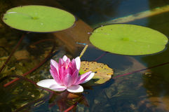 Lotus flower with dragonfly Stock Images