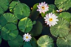 Lotus Flower e foglia nella vista superiore della superficie dell'acqua dello stagno all'aperto fotografia stock