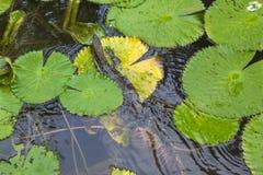 Lotus Flower e lucertola Immagine Stock Libera da Diritti