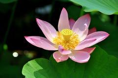 Lotus Flower en Pekín Lotus Flower Park Imagen de archivo libre de regalías