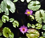 Lotus Flower en Water Lilys in Zen Water royalty-vrije stock foto