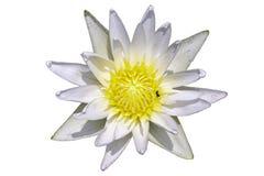 Lotus Flower et insectes blancs sur un fond blanc images stock