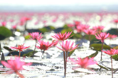 Lotus flower in the farm under warm sunlight. Stock Image