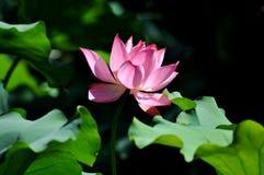 Lotus Flower Festival i Yuanmingyuan parkerar arkivbilder