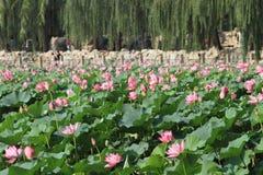 Lotus flower field in Beihai Park Stock Photo